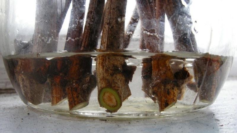 Заготовка черенков винограда осенью и хранение до весны