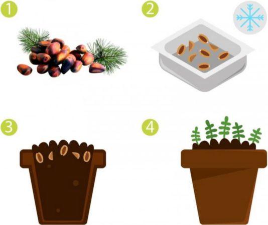 Как прорастить в домашних условиях кедровый орех