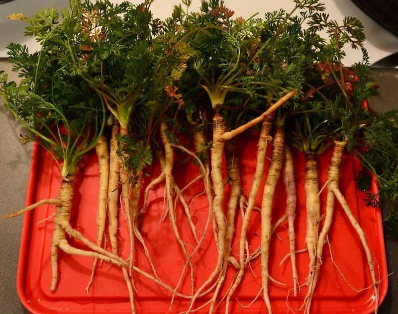 Лечебные свойства дикой моркови и способы применения в народной медицине