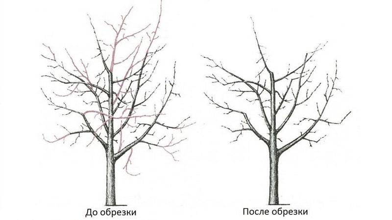 Сроки, инструкция и схемы обрезки яблони осенью для начинающих