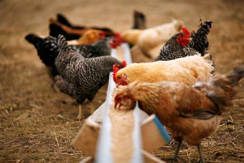 Использование сорго как корма для птицы и скота