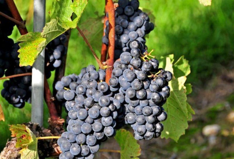 сорт красного виноградного вина