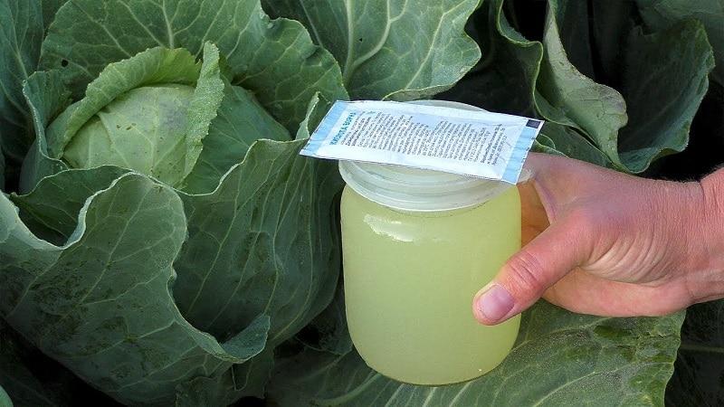 Позднеспелый морозоустойчивый гибрид капусты Леннокс f1