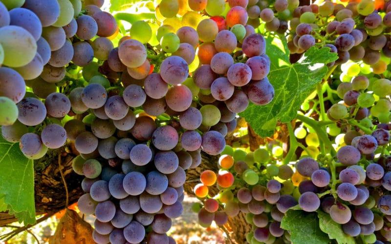 из какого винограда делают вино