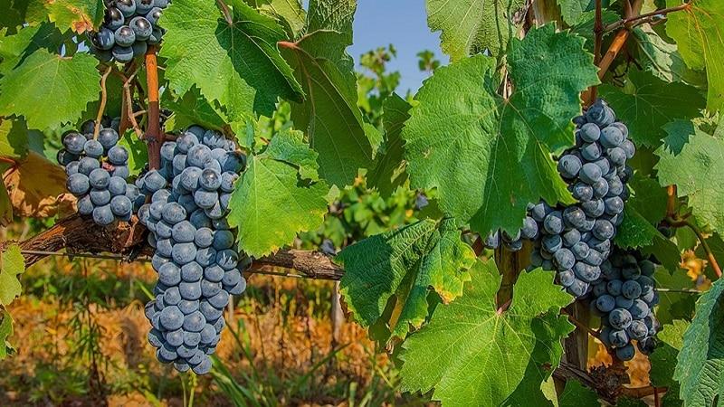 винограды грузии