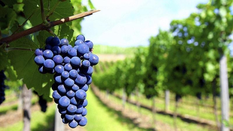 грузинские автохтонные сорта винограда