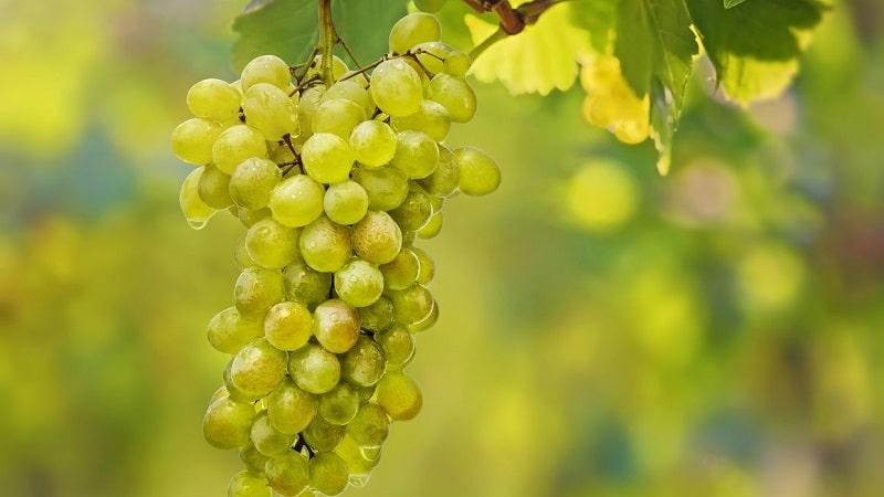 Столовые, технические, автохтонные грузинские сорта винограда