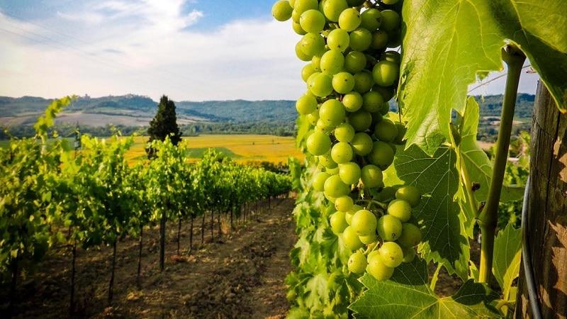 виноградные плантации грузии