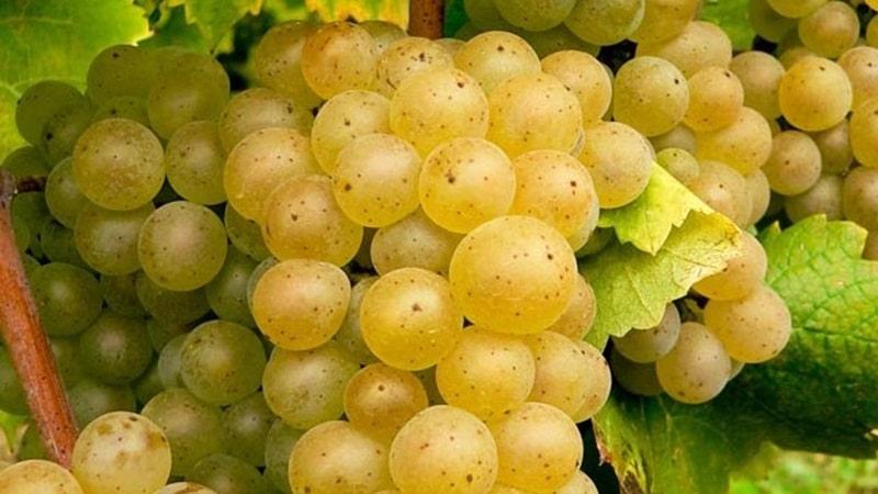 виноградники в грузии