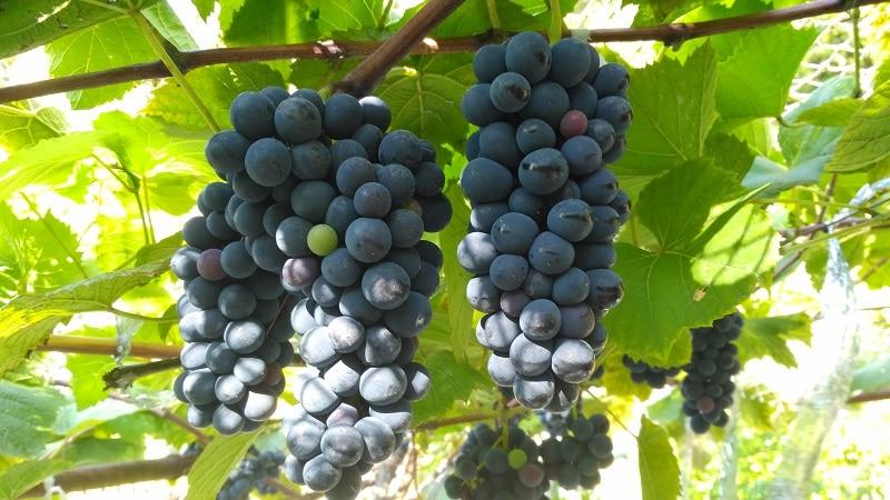 грузинские сорта винограда для вина