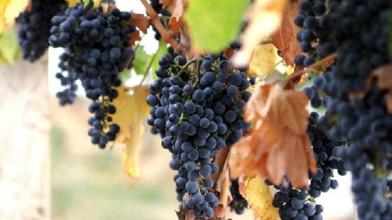 грузинские сорта винного винограда