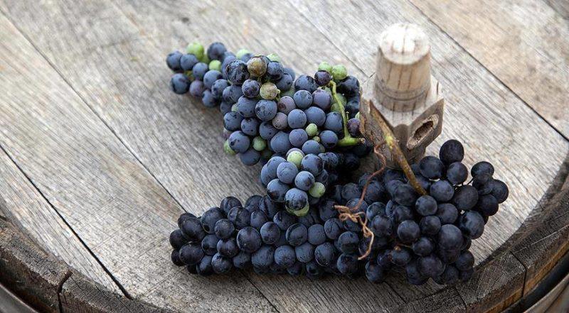 сорта винограда для вина