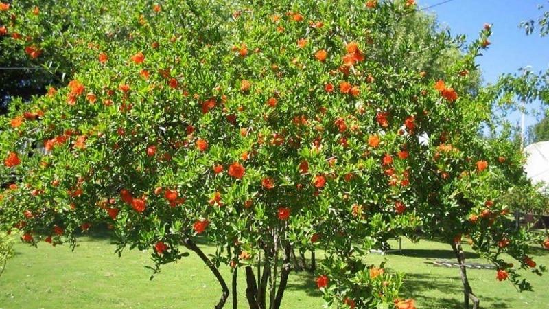 дерево гранатовое