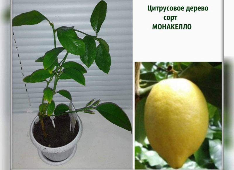 сорта комнатных лимонов