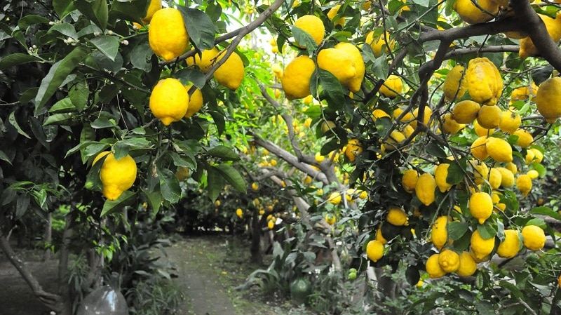 какие бывают лимоны