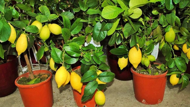 виды лимонов