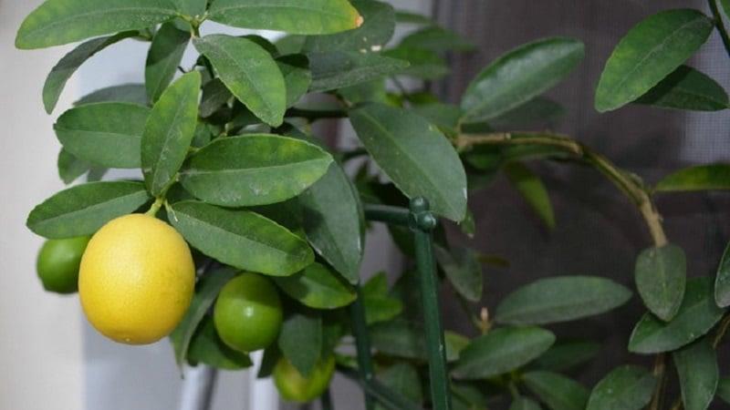 Описание видов и сортов лимонов