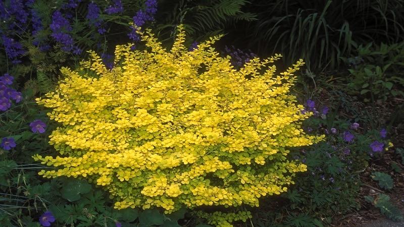 барбарис желтый ауреа