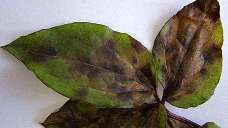 болезни базилика фото