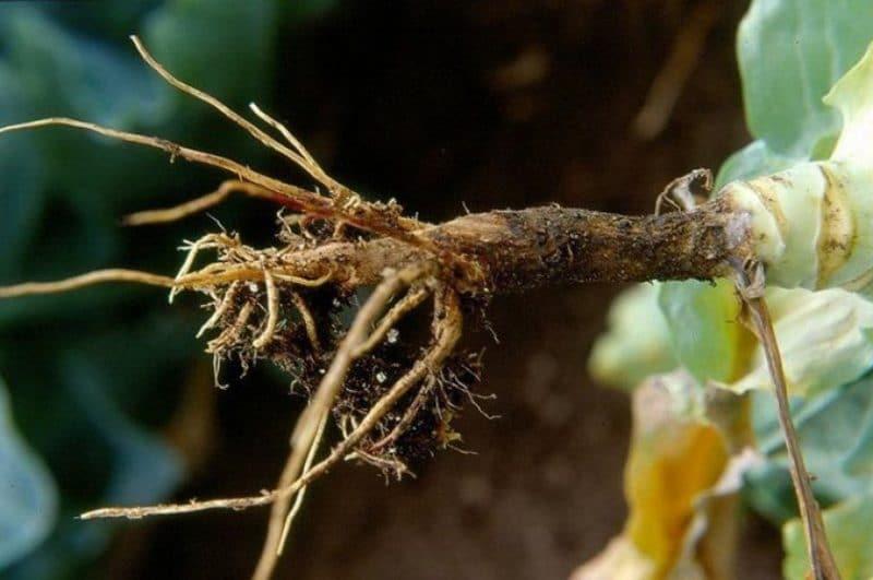 Болезни и вредители пекинской капусты