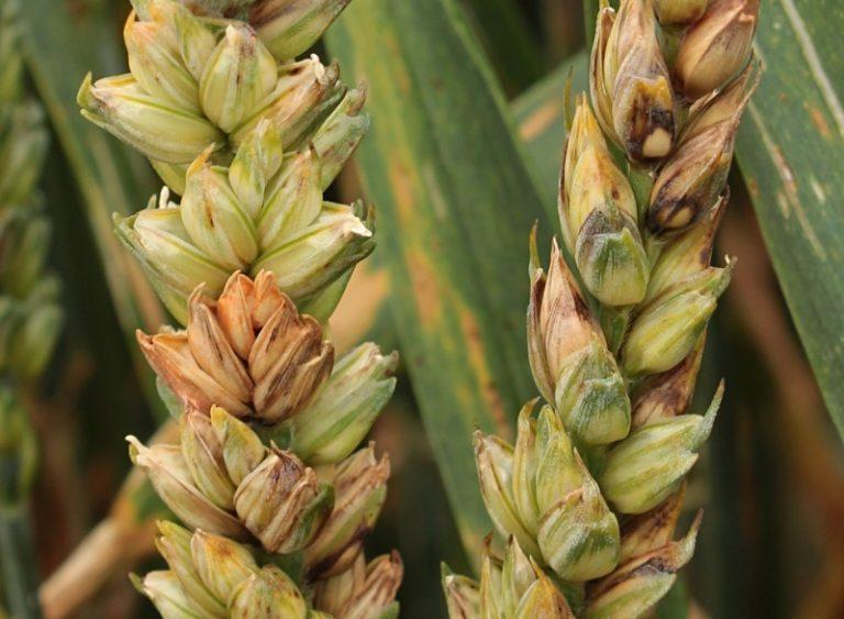 фузариоз пшеницы фото