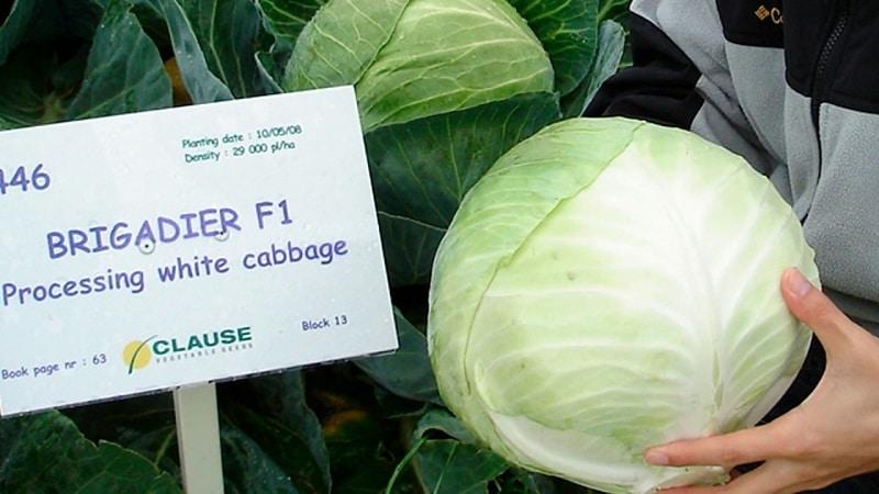 Высокоурожайный устойчивый гибрид капусты Бригадир F1