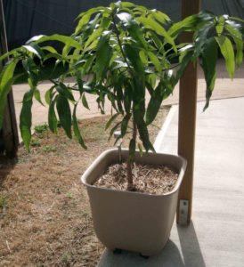 Все о манго: что это, как выглядит и где растет