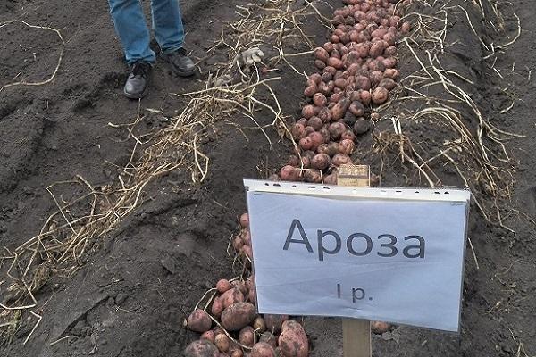 картофель ароза