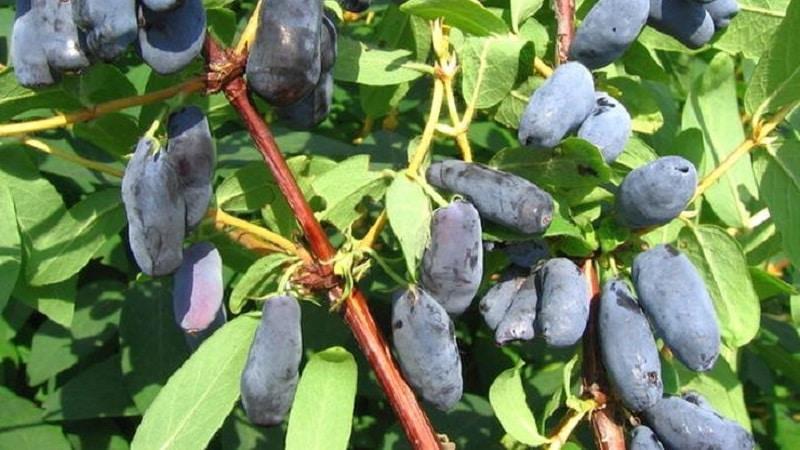 Крупноплодный морозоустойчивый сорт жимолости Камчадалка