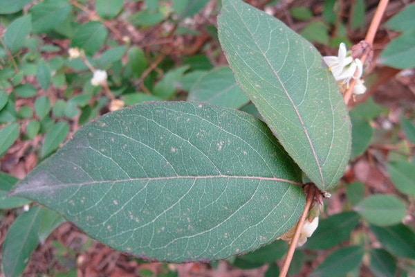листья жимолости полезные свойства