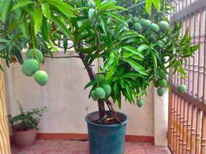как выглядит дерево манго