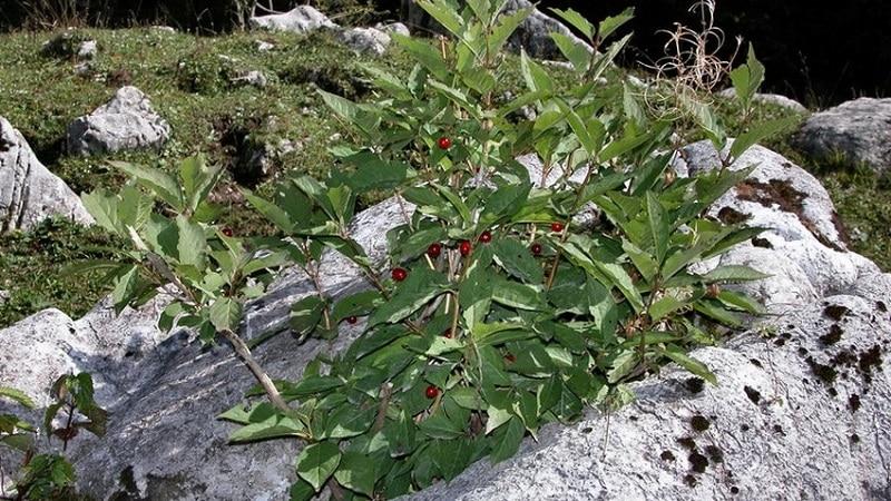 жимолость альпийская lonicera alpigena