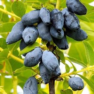 Новый крупноплодный устойчивый сорт жимолости Югана