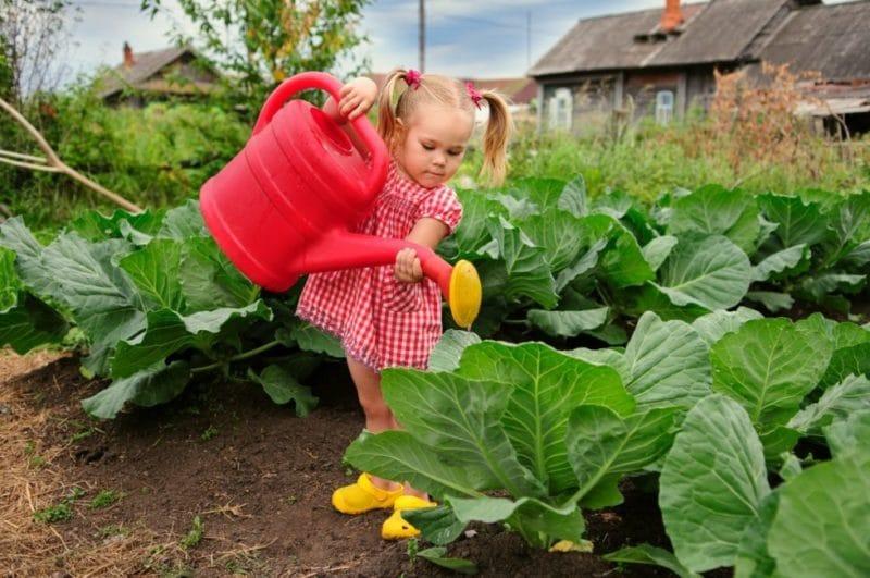 как поливать капусту в открытом грунте