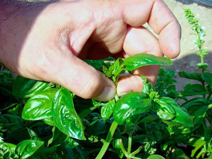 как прищипывать базилик