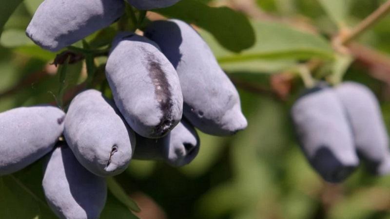 Высокоурожайный вкусный сорт жимолости Сластена