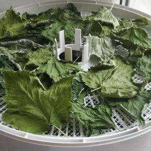 Заготавливаем ягоды правильно: как сушить черную смородину в электросушилке