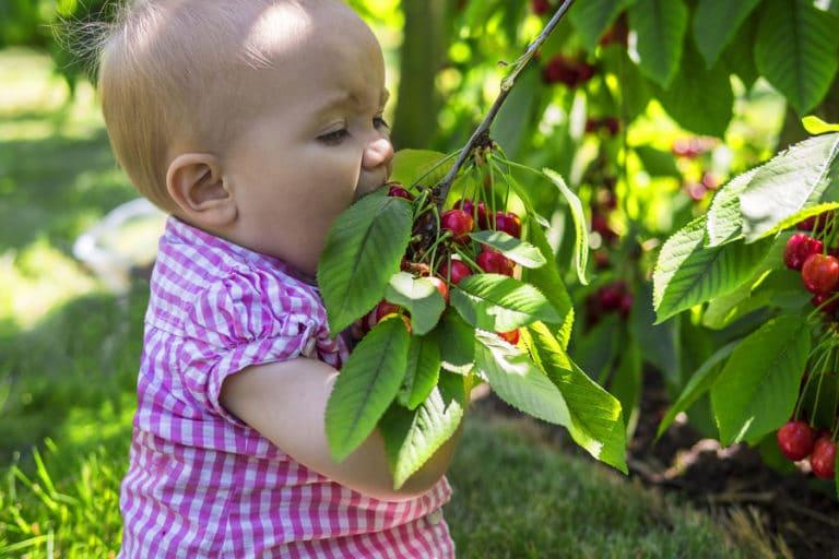 Разрешена ли вишня при грудном вскармливании, чем полезна для мамы и малыша
