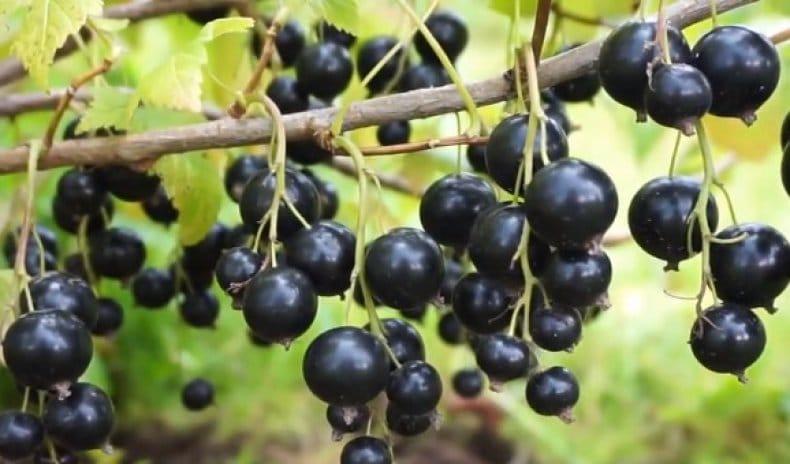 Как правильно выращивать сорт черной смородины Дачница и какие у него плюсы и минусы