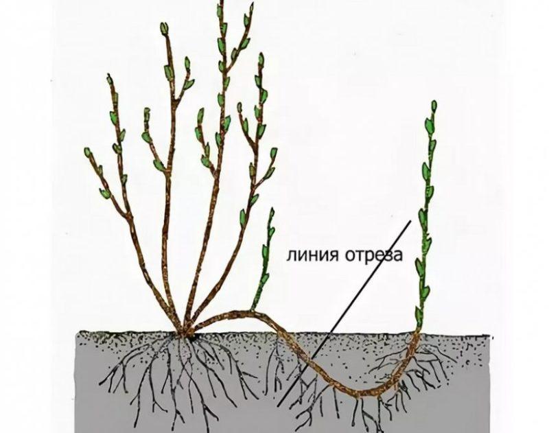 Когда и как размножить красную смородину