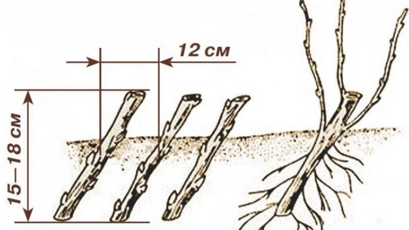 Инструкция для садоводов-новичков: как размножить черную смородину